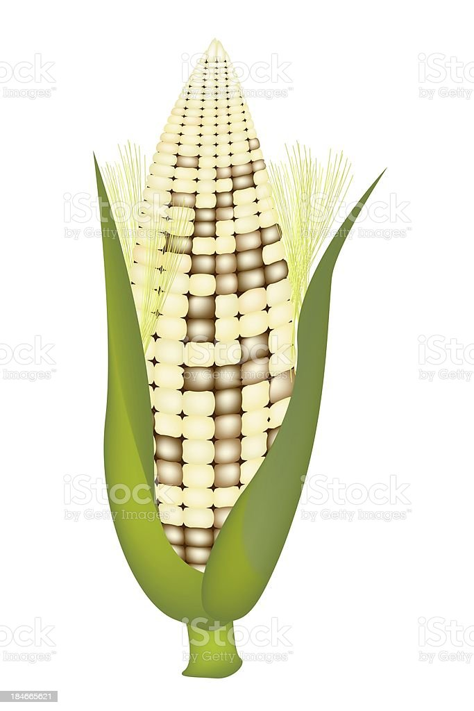 Fresh Sweet Ears of White Corn with Husk and Silk royalty-free stock vector art