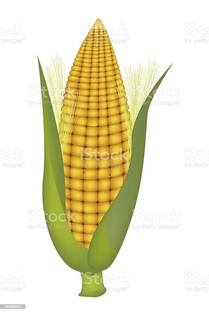 Fresh Sweet Ears of Yellow Corn with Husk and Silk royalty-free stock vector art