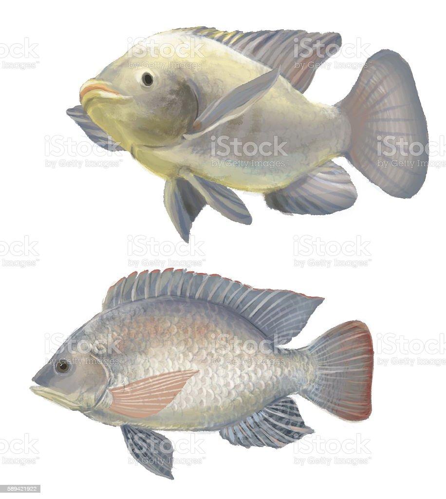 freshwater fish tilapia vector art illustration