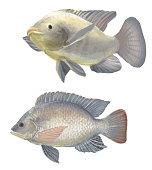 freshwater fish tilapia