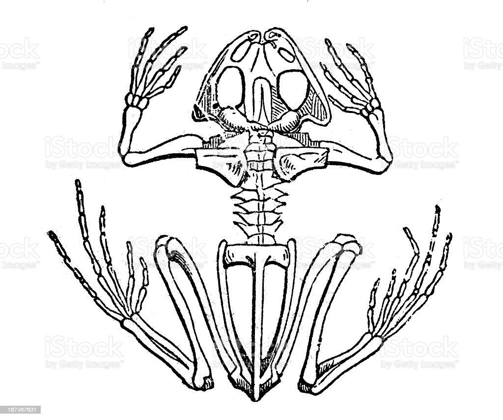 Frog skeleton royalty-free stock vector art