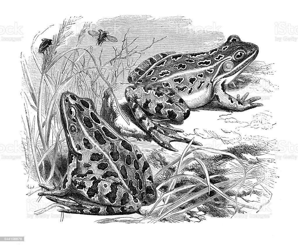 Frogs engraving 1881 stock photo