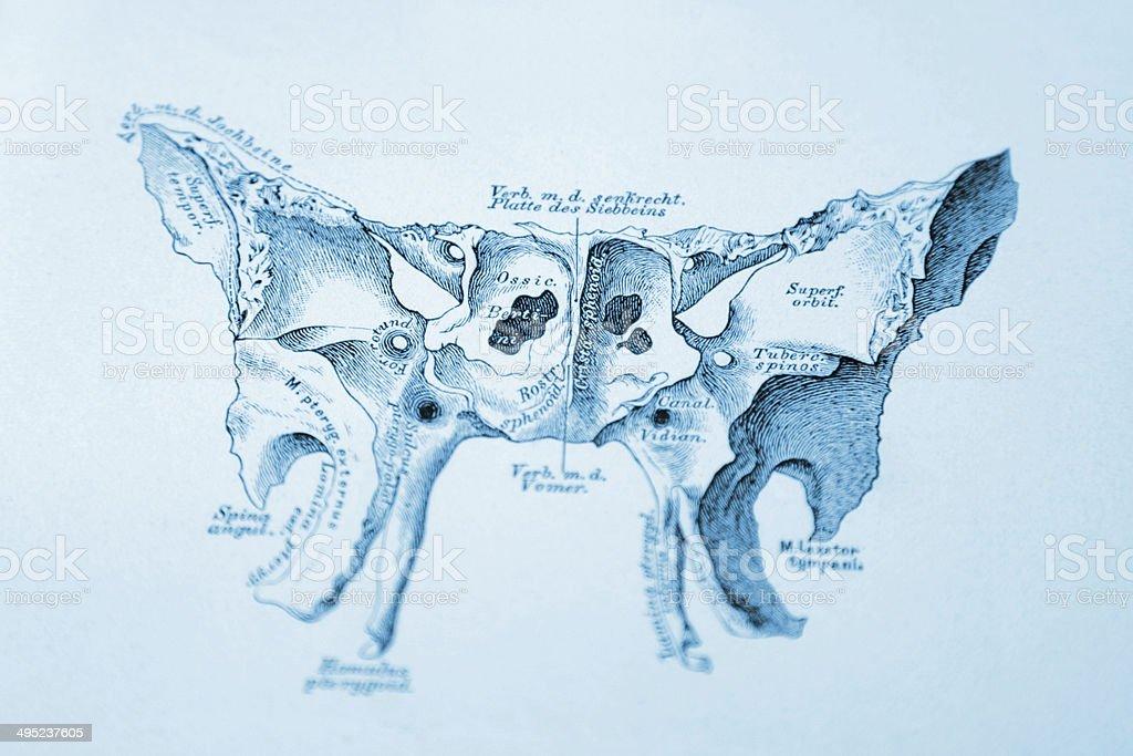 przodu ludzka kość klinowa stockowa ilustracja wektorowa 495237605, Sphenoid