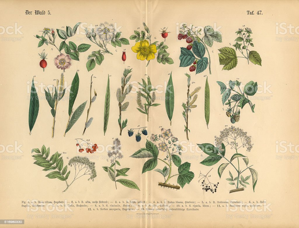 Fruit Trees, Berries, Rose and Plants, Victorian Botanical Illustration vector art illustration