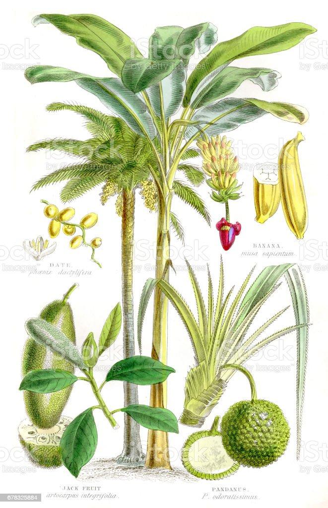 Fruits engraving 1857 vector art illustration
