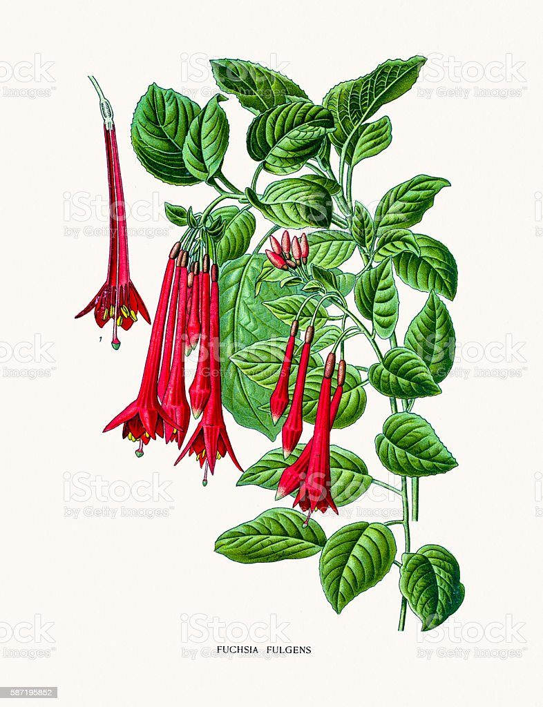 Fuchsia flowes vector art illustration