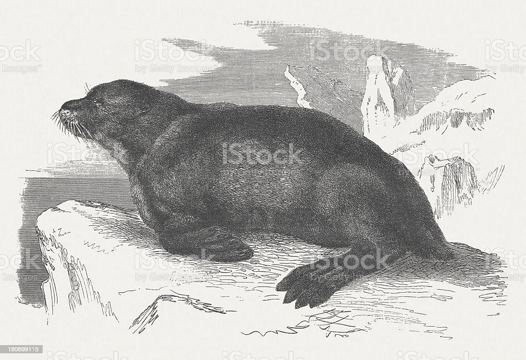 Fur seal (Callorhinus ursinus), wood engraving, published in 1875 royalty-free stock vector art