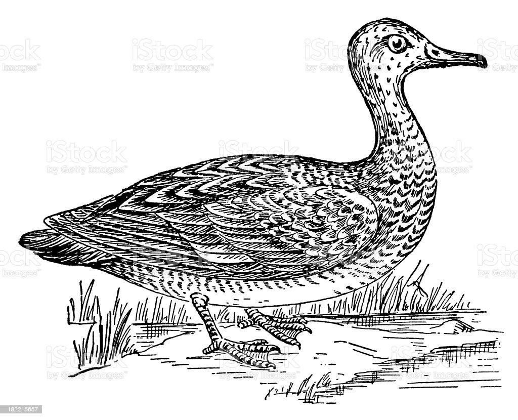 Gadwall | Antique Bird Illustrations royalty-free stock vector art