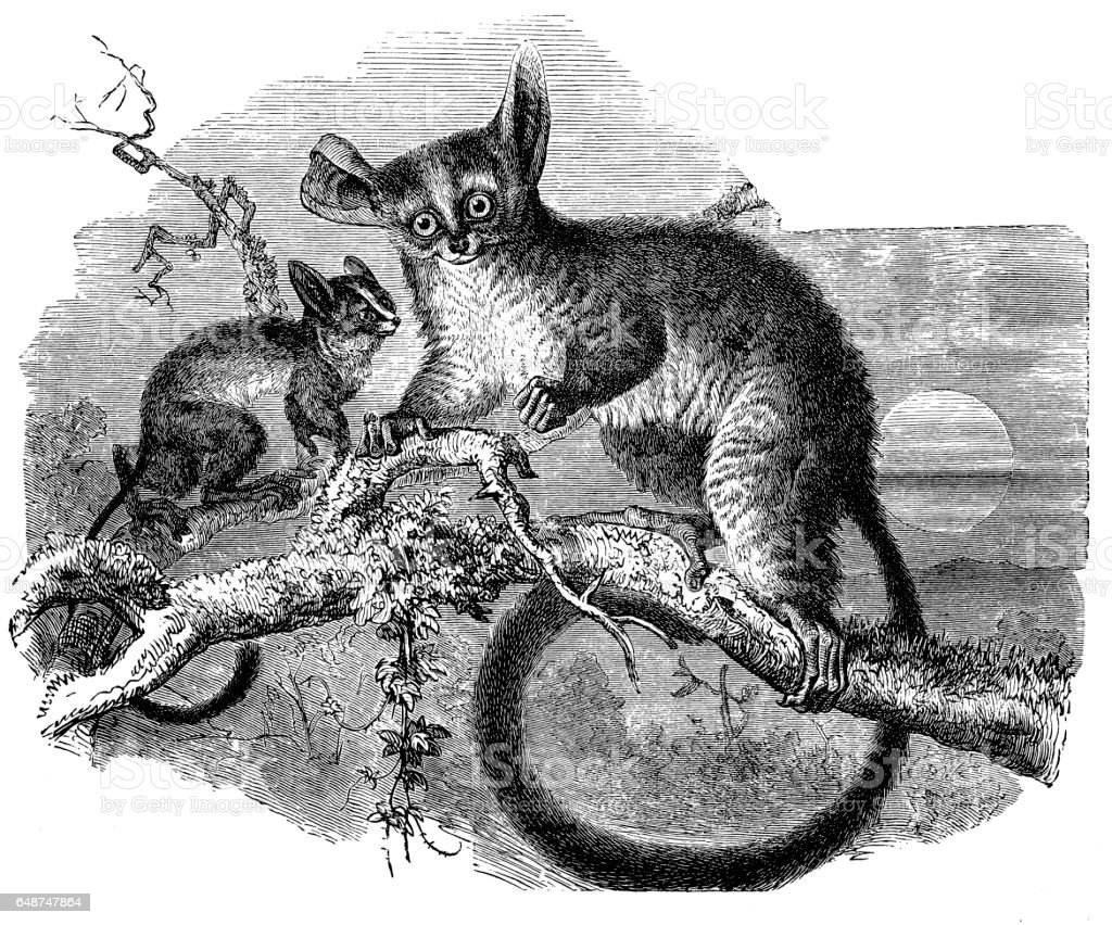 Galago (Otolicnus galago) vector art illustration