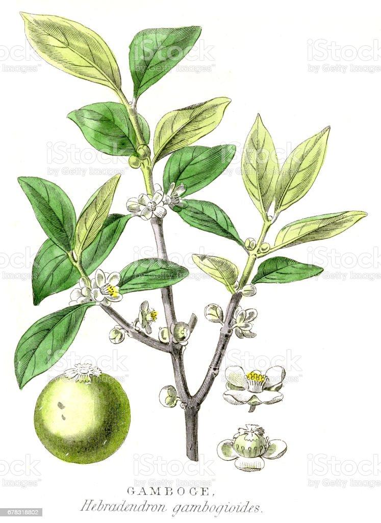 Gamboge gum plant engraving 1857 vector art illustration