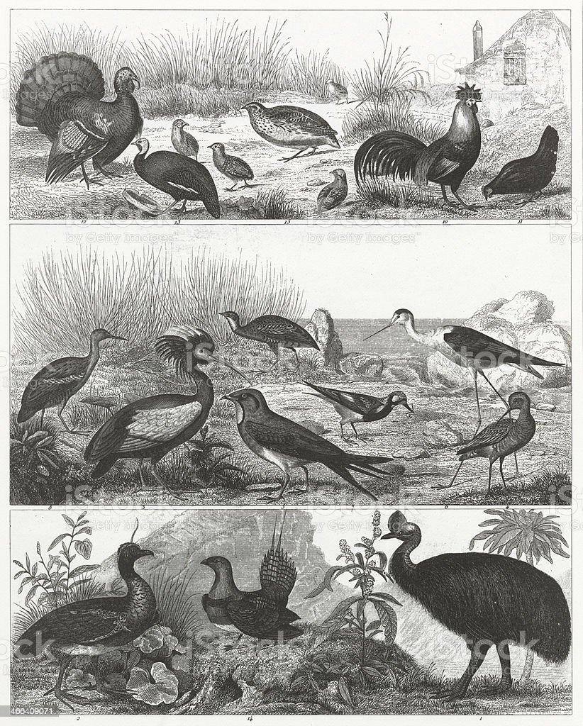 Gamebirds Engraving vector art illustration