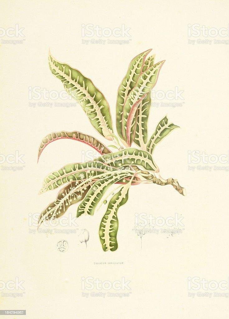 Garden croton | Antique Plant Illustrations vector art illustration