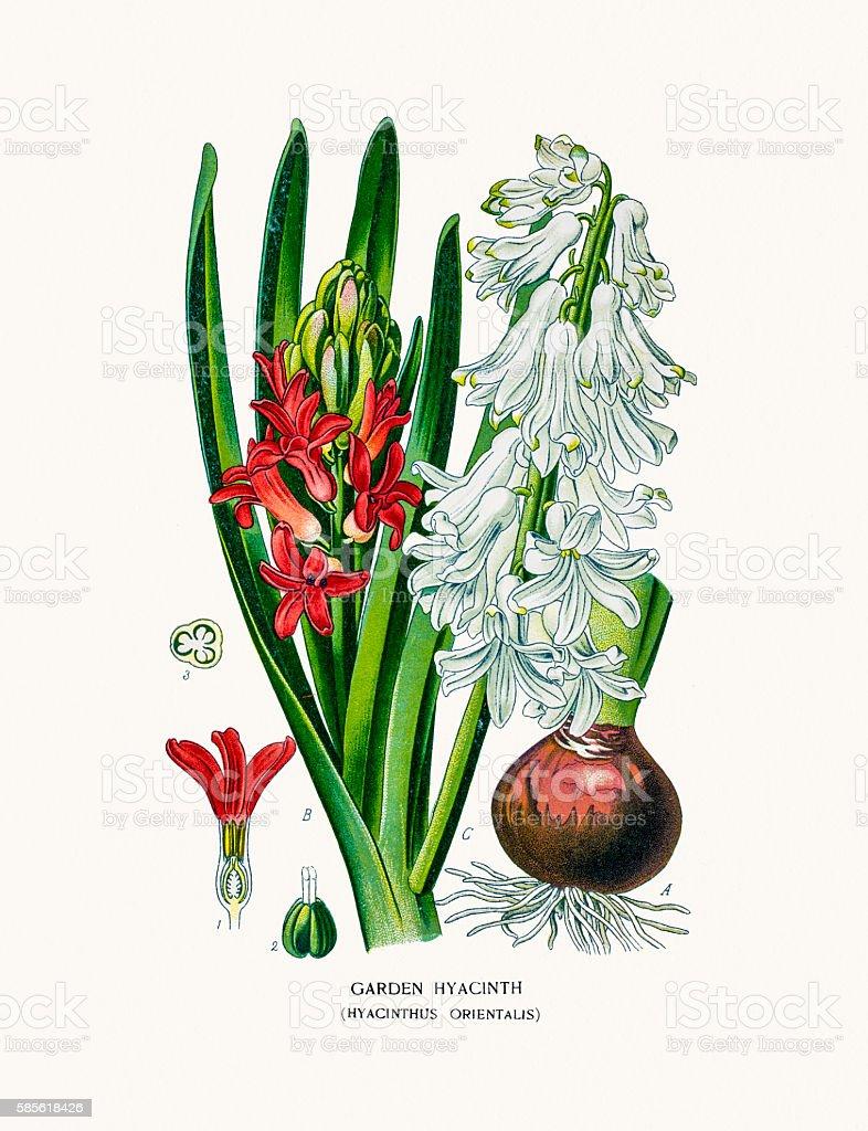 Garden Hyacinth vector art illustration