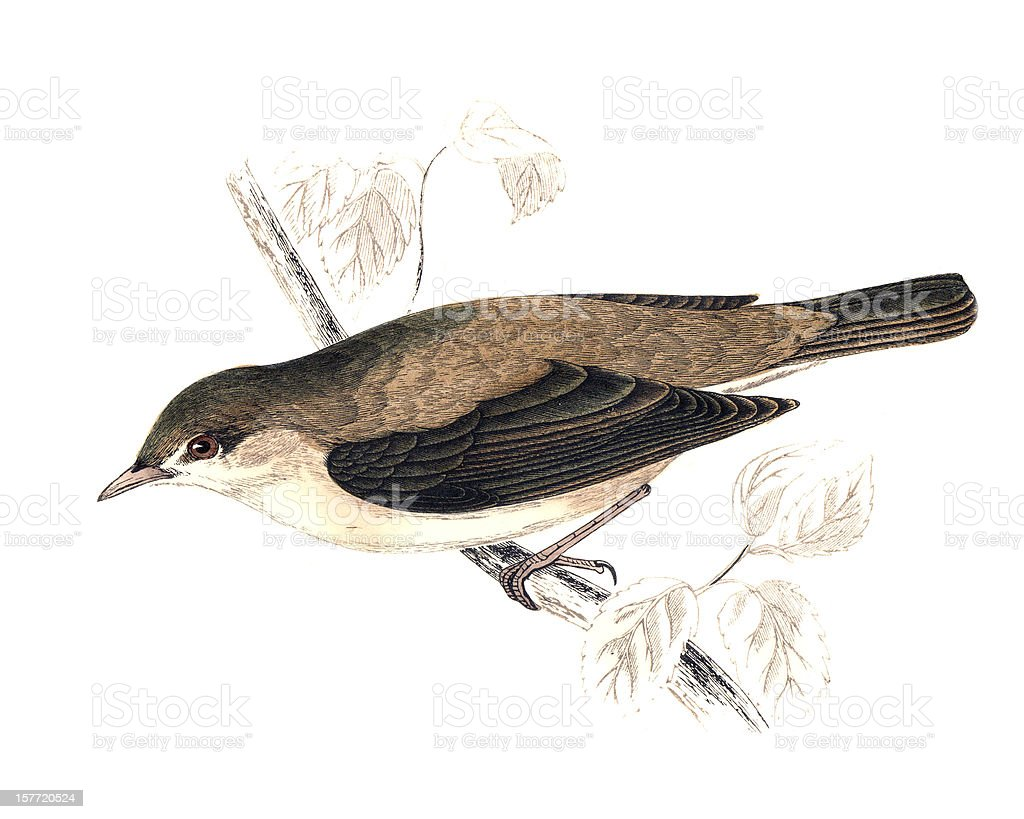 Garden Warbler - Hand Coloured Engraving royalty-free stock vector art