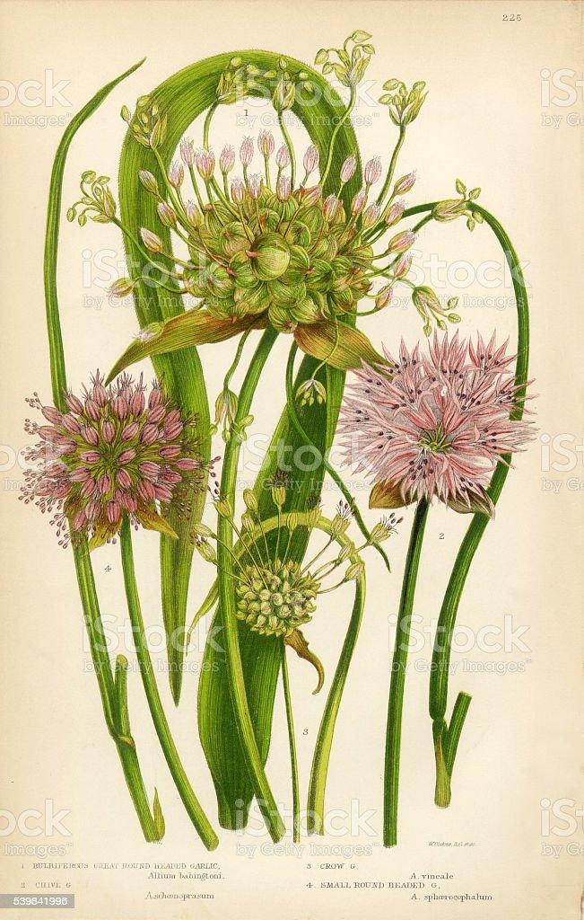 Garlic, Allium, Chive,Victorian Botanical Illustration vector art illustration
