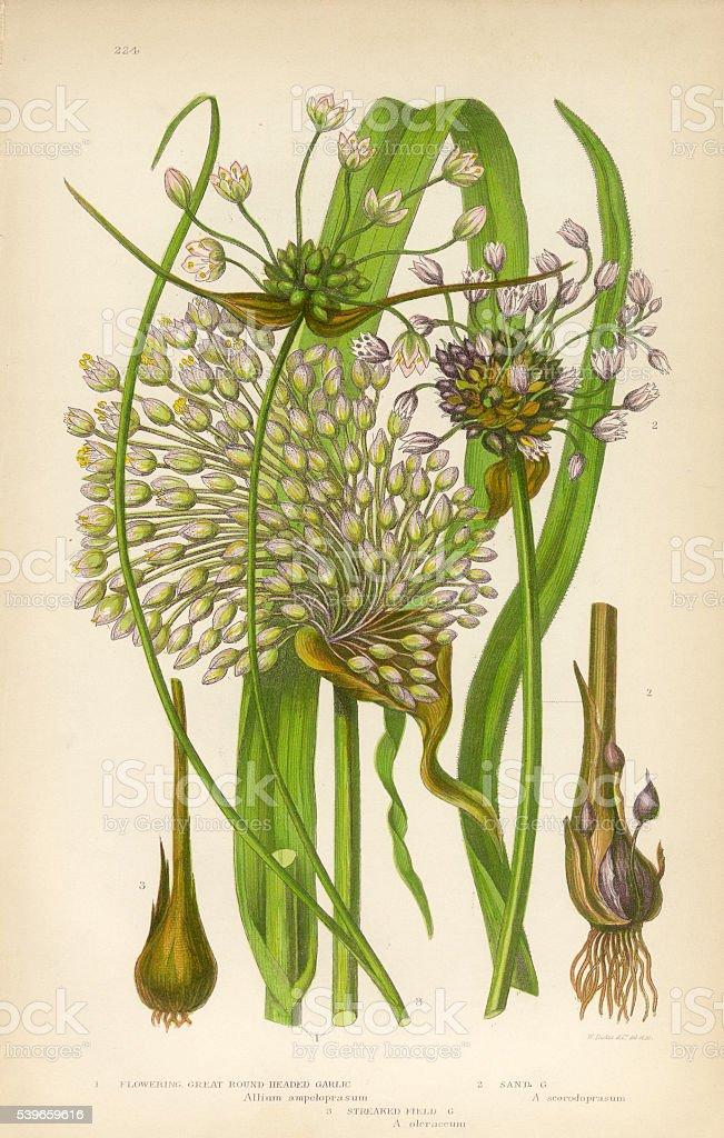 Garlic, Allium, Victorian Botanical Illustration vector art illustration
