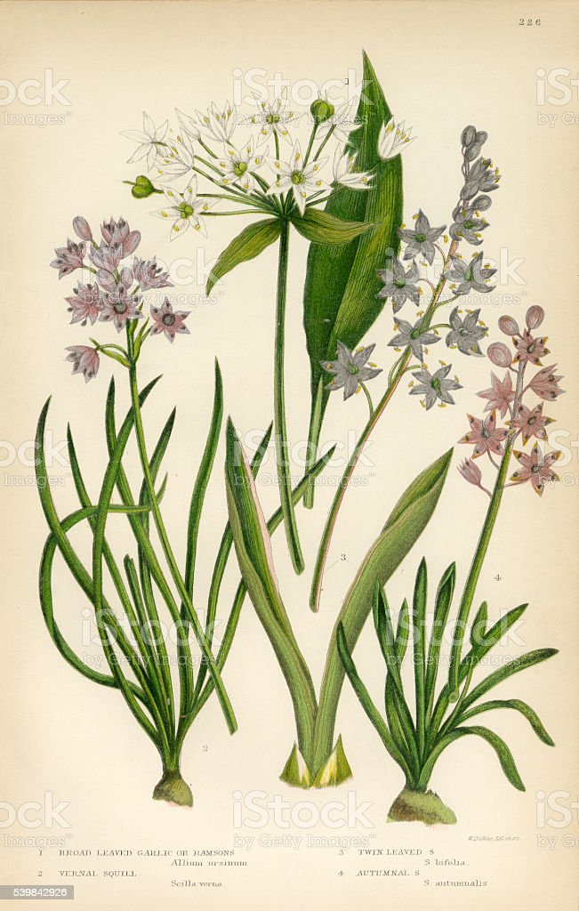 Garlic, Squill, Scilla, Allium, Chive, Onion Victorian Botanical Illustration vector art illustration