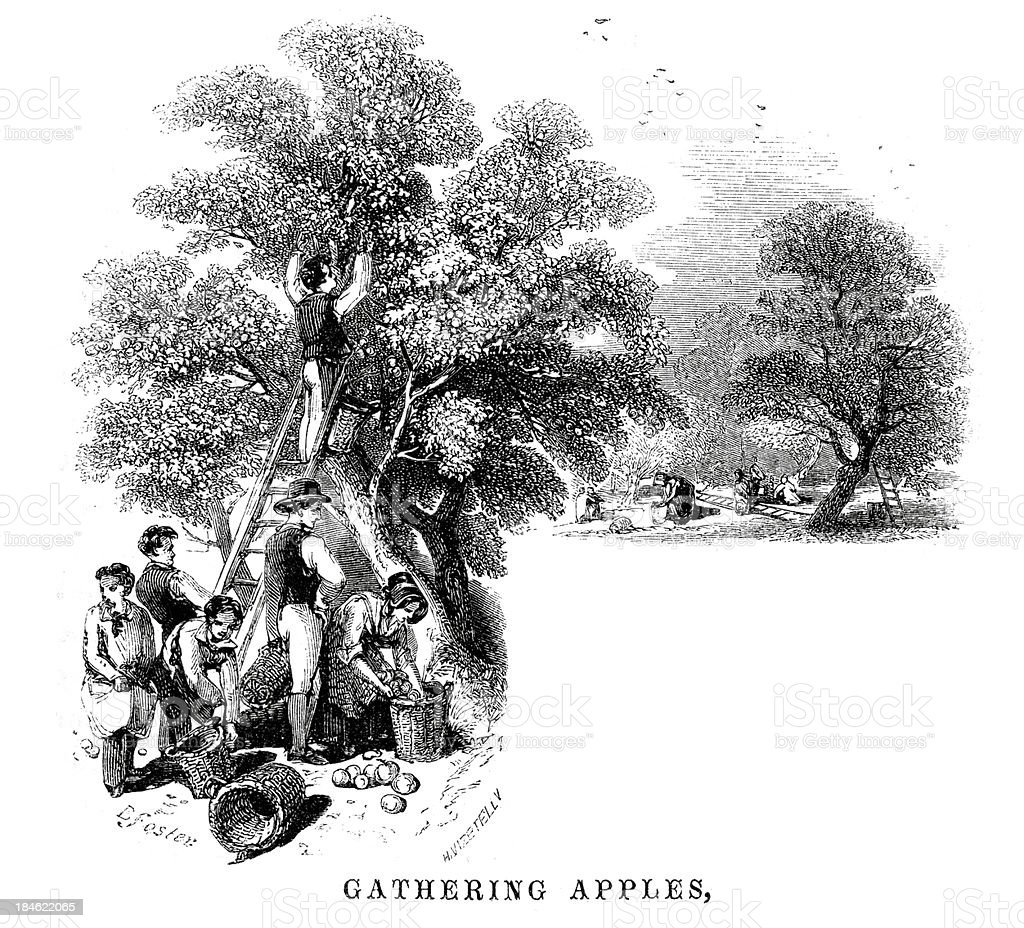 Gathering apples in the orchard vector art illustration