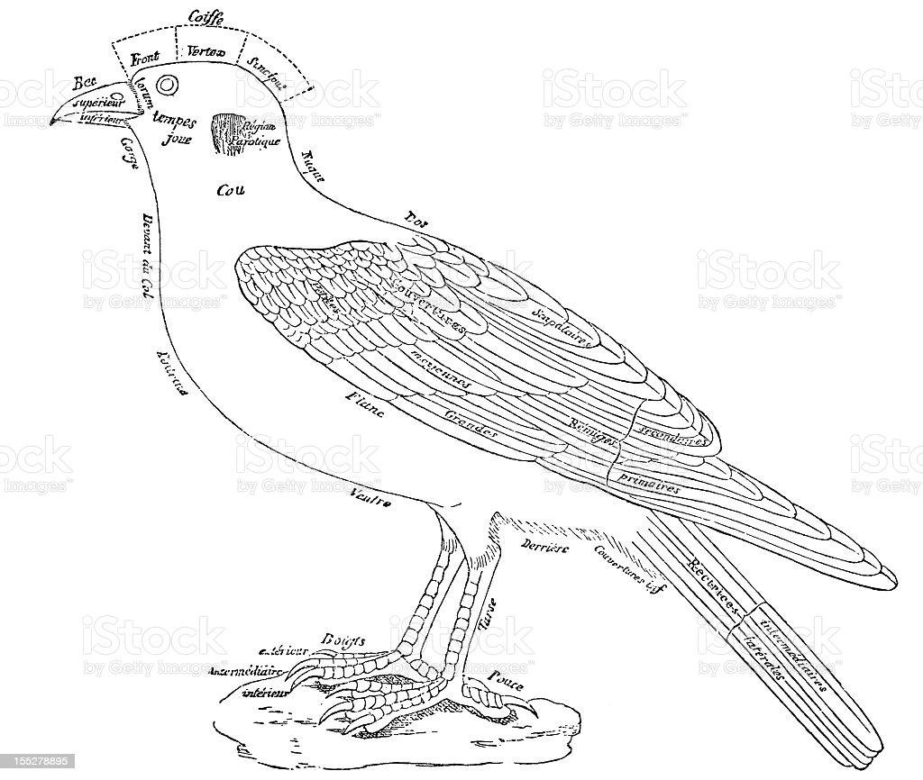 Generic bird anatomy vector art illustration