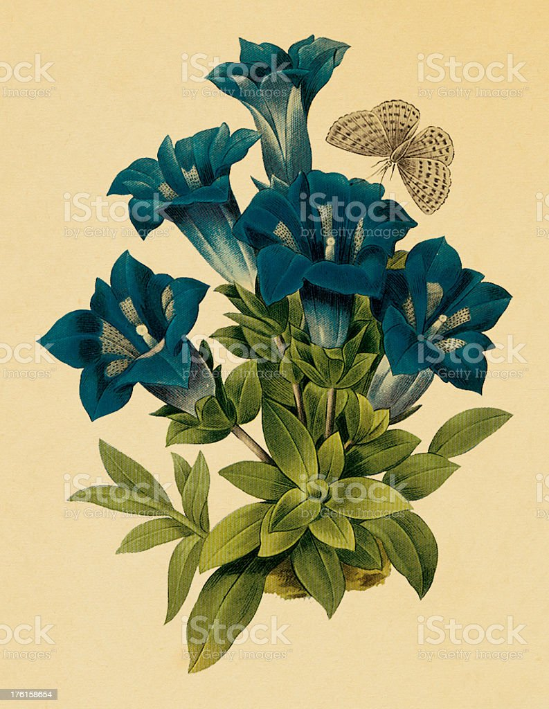 Gentiana   Antique Flower Illustrations royalty-free stock vector art