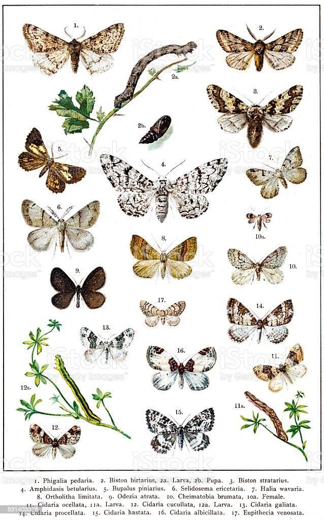 Geometer Moths of Europe vector art illustration