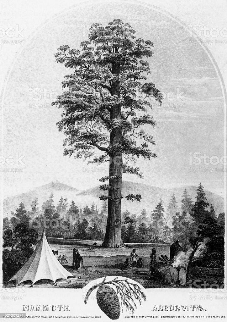 Giant Redwood Tree, Mammoth Arbor Vitae, Circa1853 vector art illustration