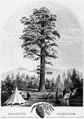 Giant Redwood Tree, Mammoth Arbor Vitae, Circa1853