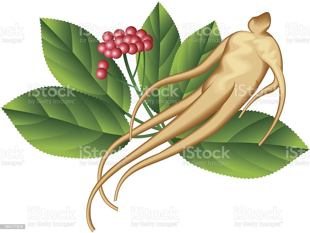 Ginseng vector art illustration