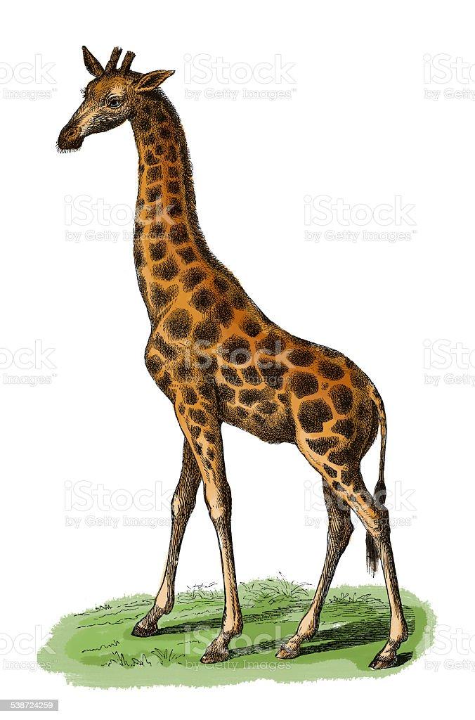 Giraffe (antique engraving) vector art illustration