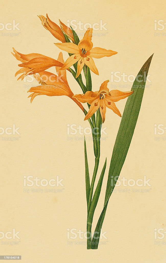 Gladiolus | Antique Flower Illustrations royalty-free stock vector art