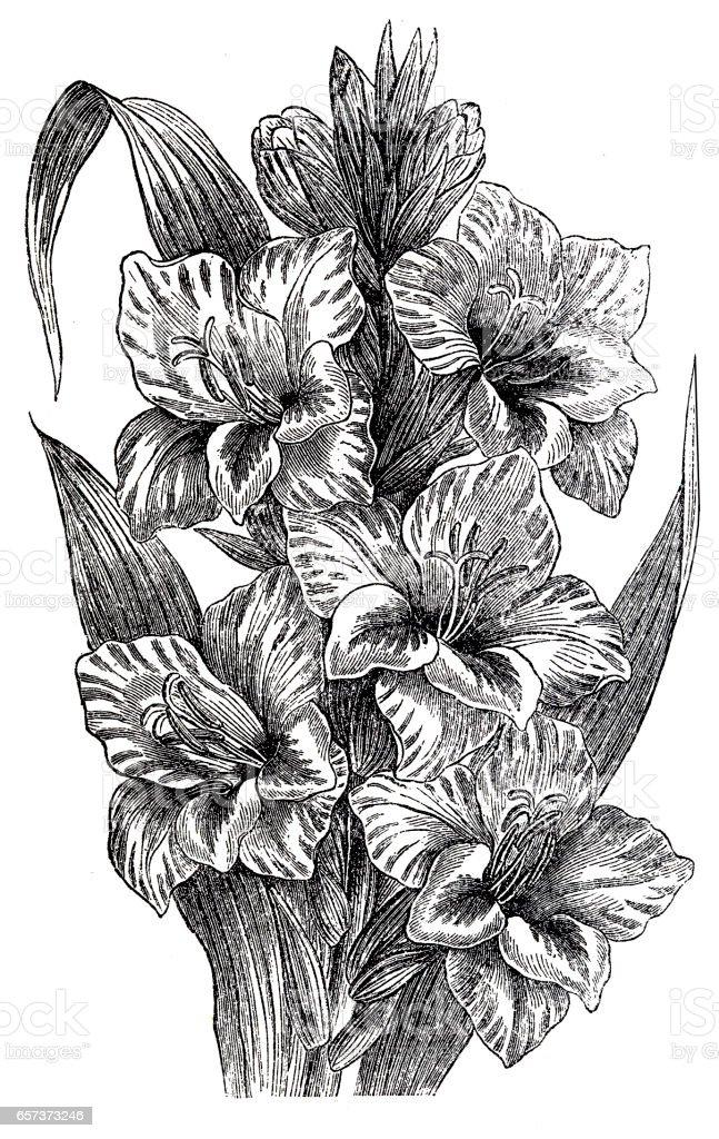 Gladiolus (gladiolus gandavensis) vector art illustration