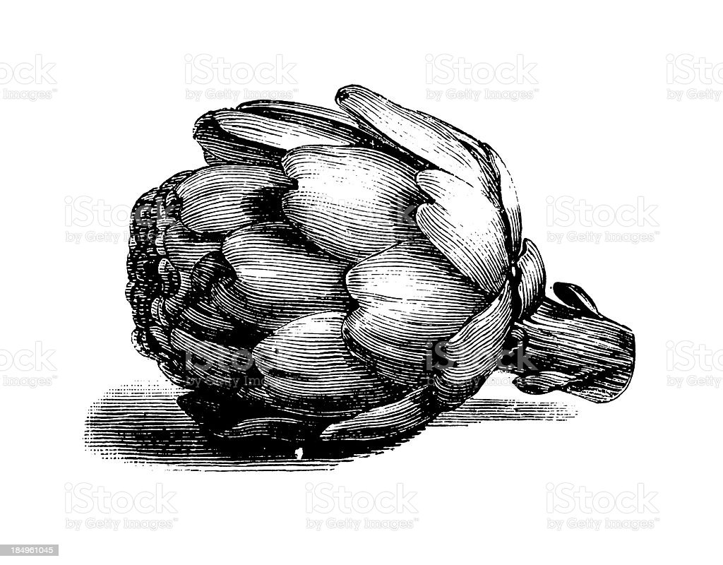 Globe artichoke | Antique Culinary Illustrations vector art illustration