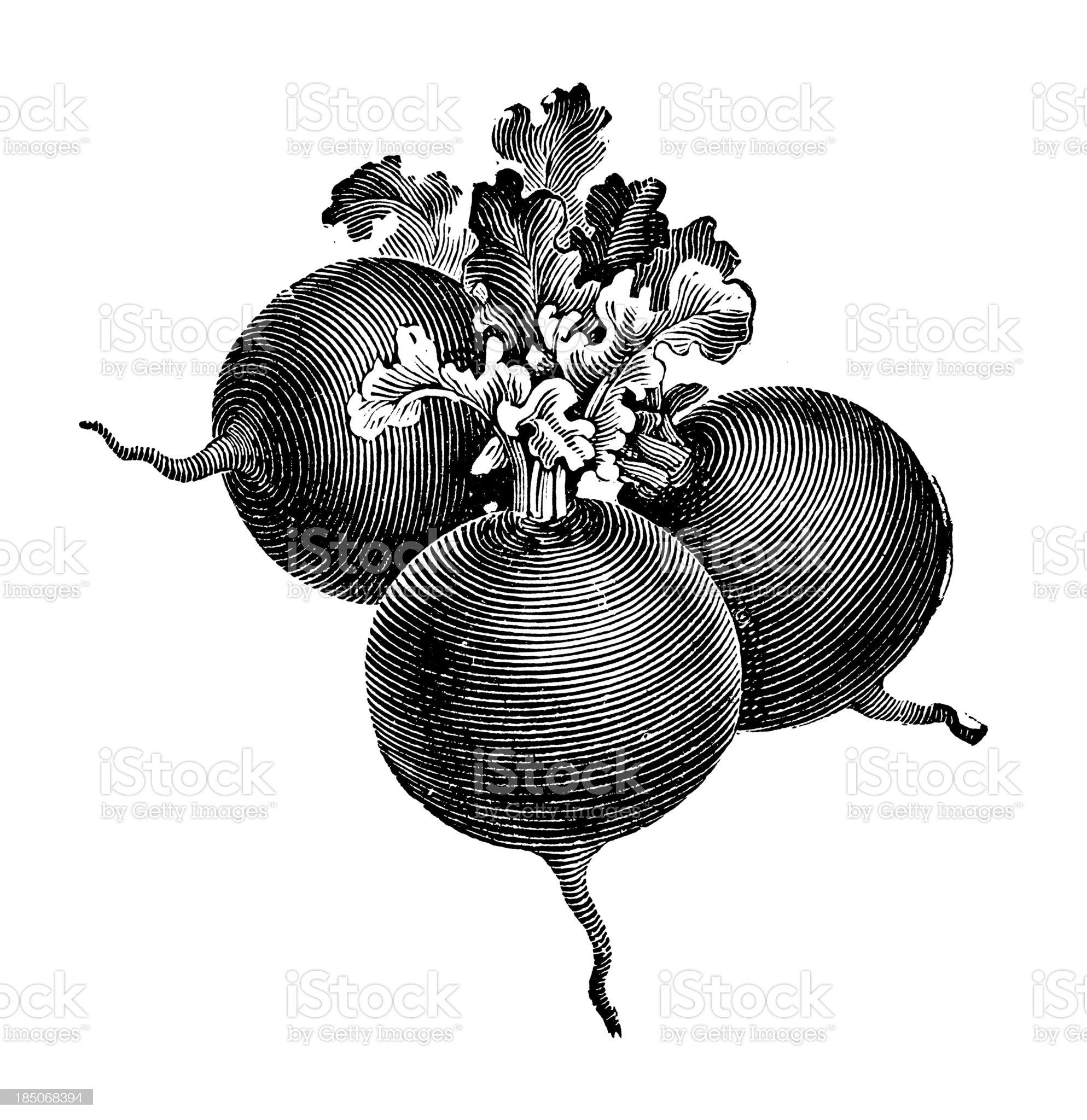 Globe Radish Illustration | Vintage Farmer Garden Vegetable Clipart royalty-free stock vector art