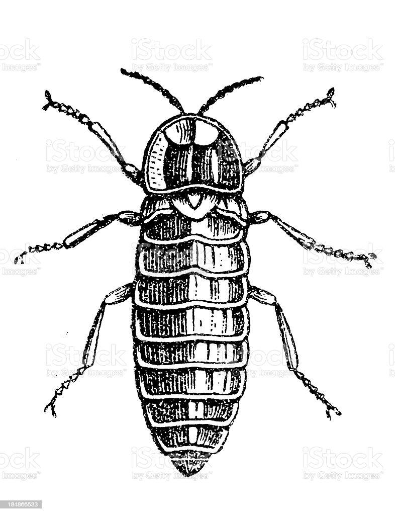 Glowworm (Lampyris Noctiluca) female royalty-free stock vector art