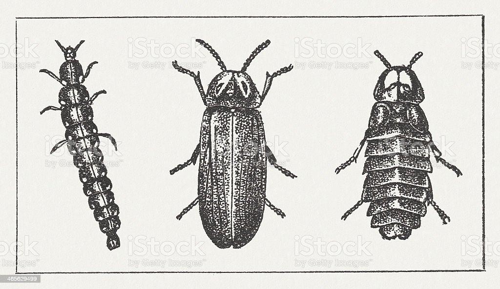 Glowworm vector art illustration