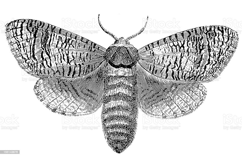 Goat Moth (Cossus Cossus) royalty-free stock vector art