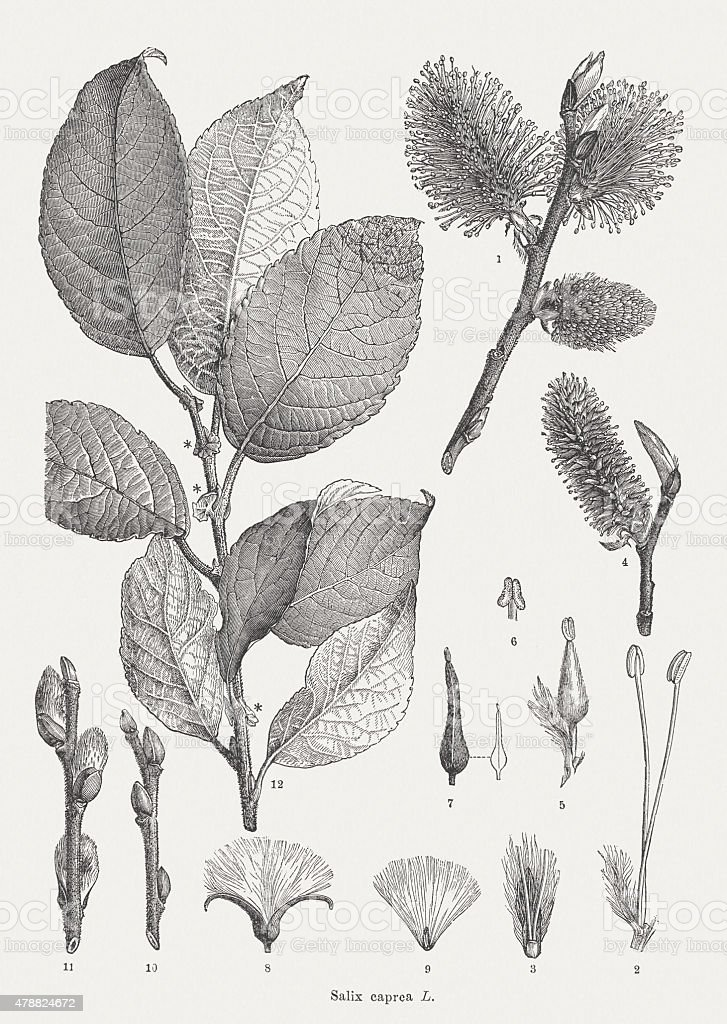 Goat willow, published in 1878 vector art illustration