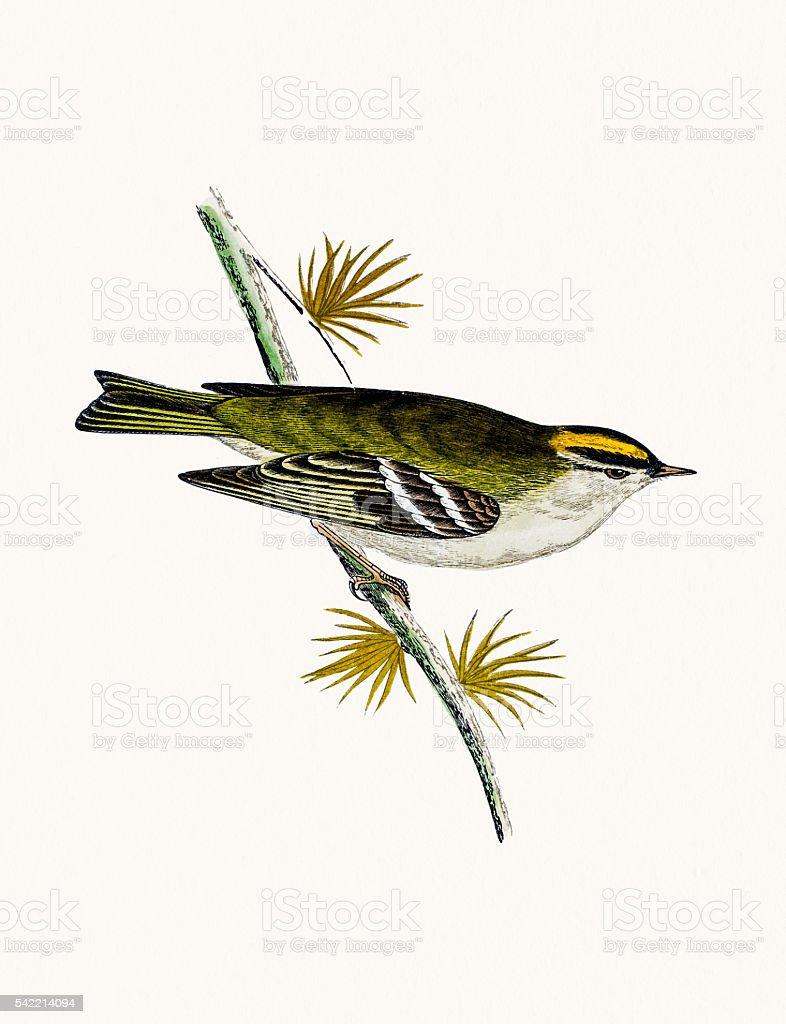 Goldcrest bird vector art illustration