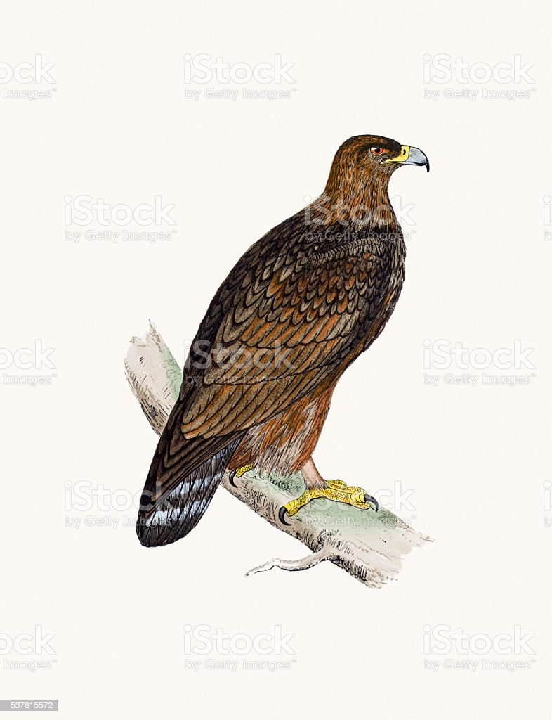 Golden Eagle bird of prey vector art illustration