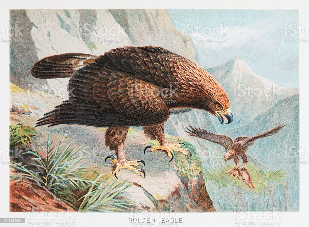 Golden Eagle illustration 1895 vector art illustration