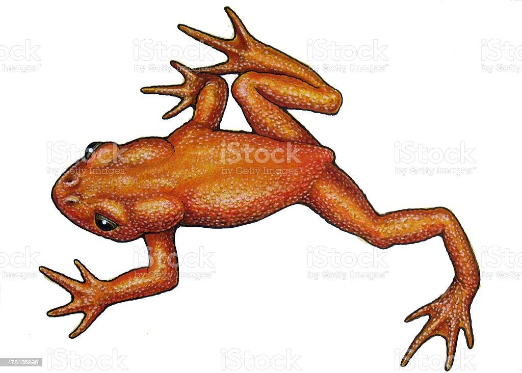 Golden Frog zu Lizenzfreies vektor illustration