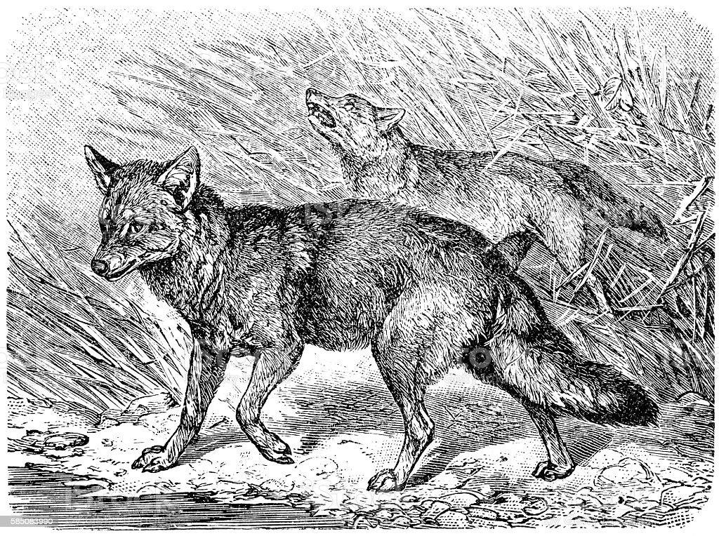 Golden jackal (Canis aureus) vector art illustration