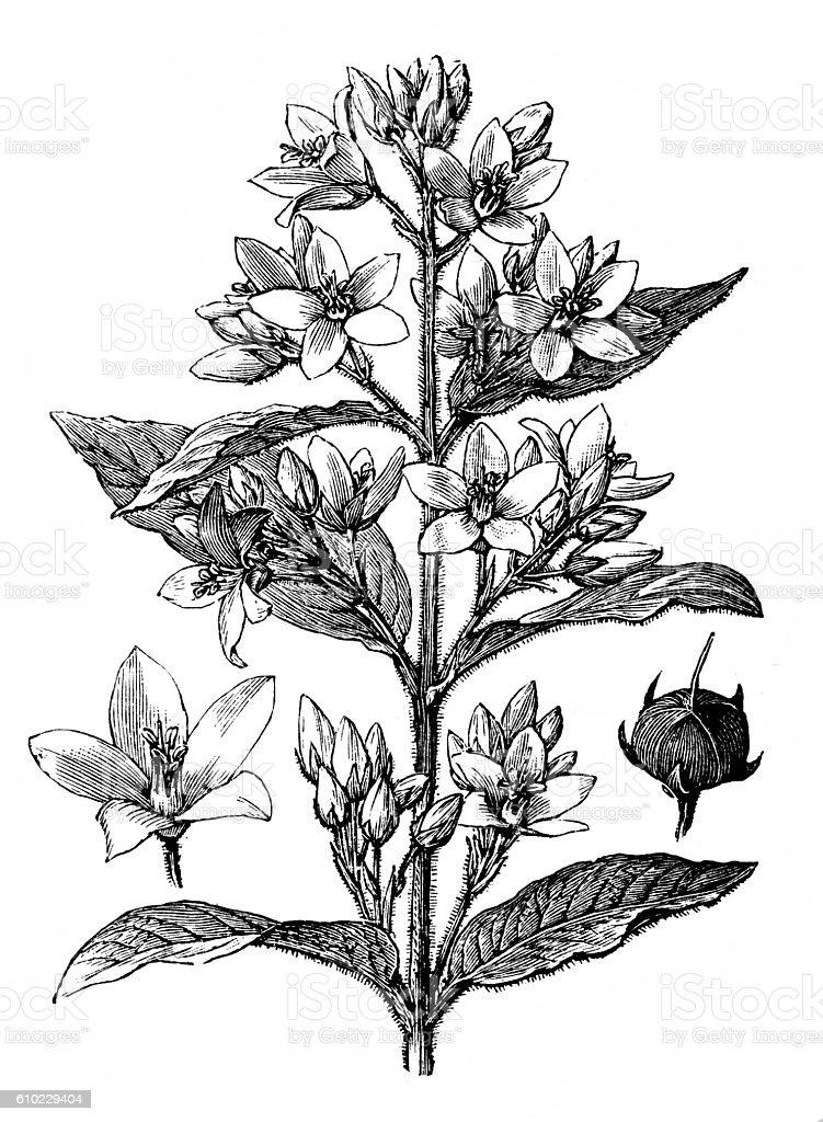 Golden loosestrife (Lysimachia vulgaris) vector art illustration