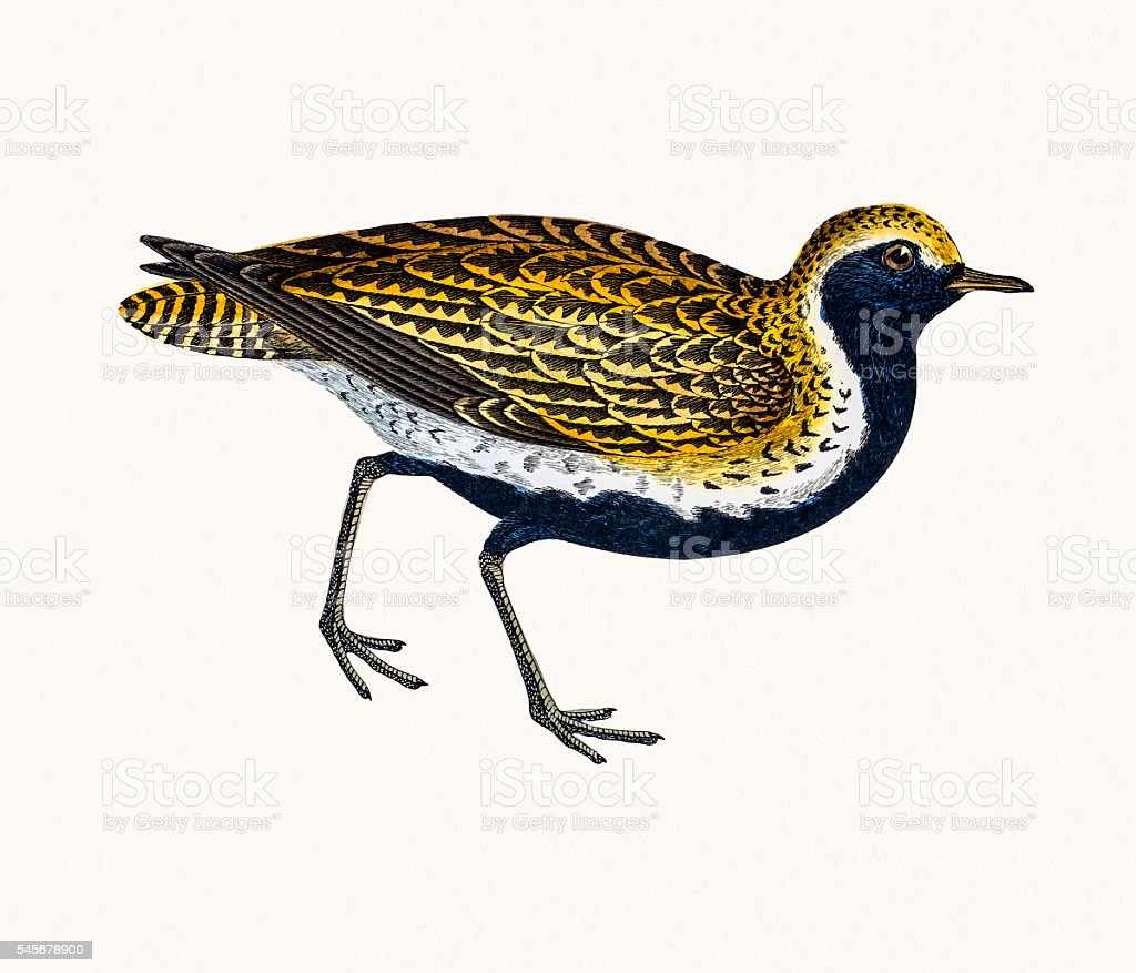 Golden Plover vector art illustration
