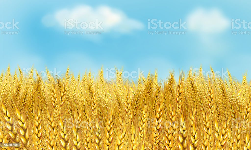 golden wheat field sunny day vector art illustration