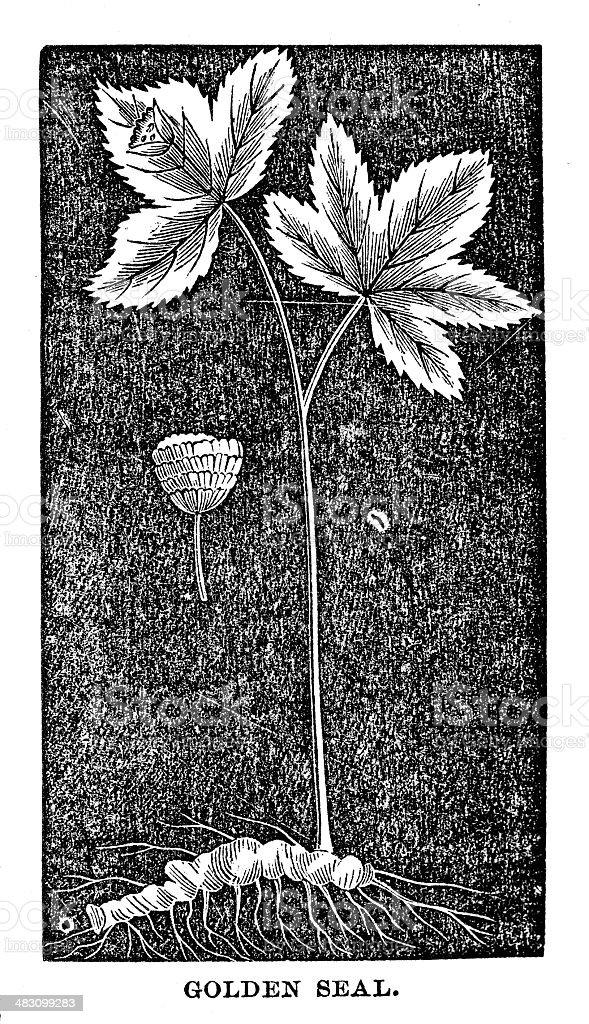 Goldenseal vector art illustration