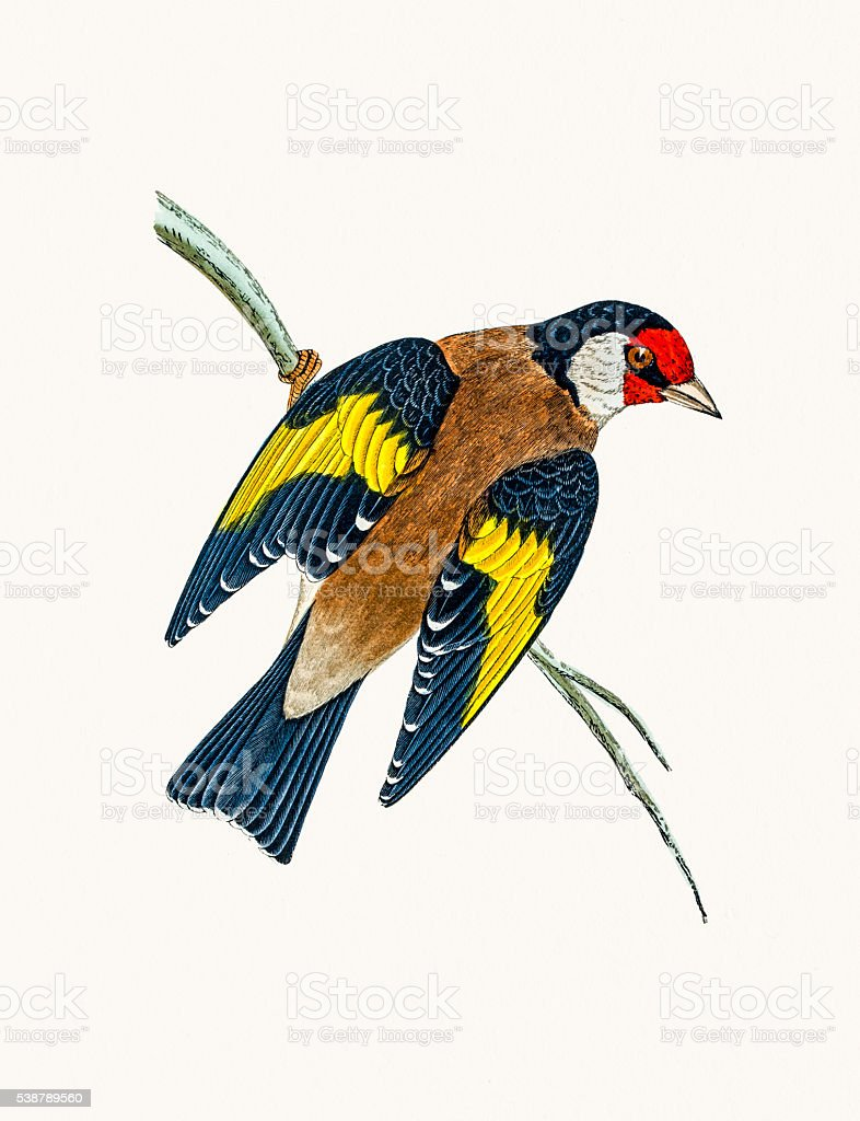 Goldfinch bird vector art illustration