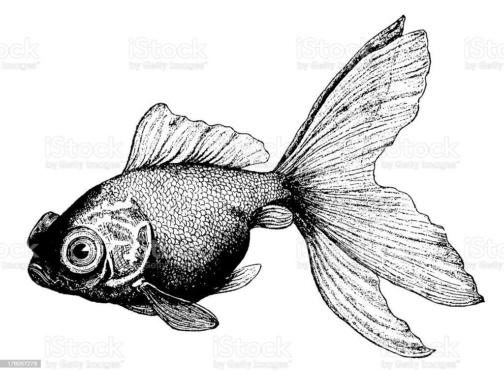 Goldfish | Antique Animal Illustrations royalty-free stock vector art