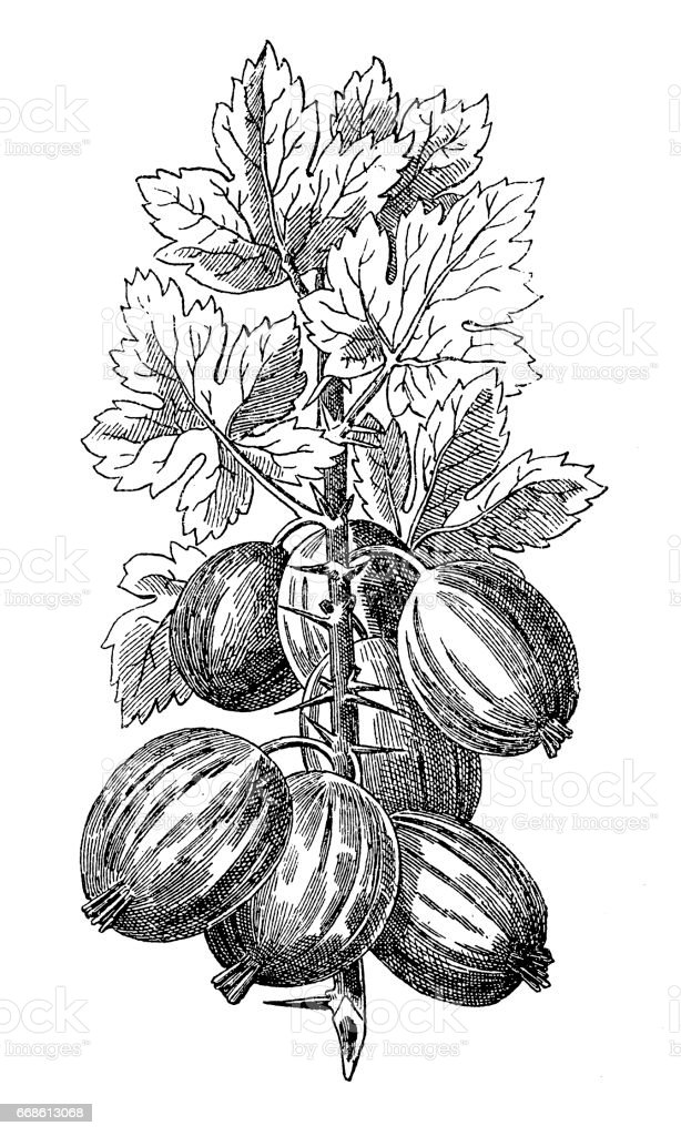 Gooseberry vector art illustration