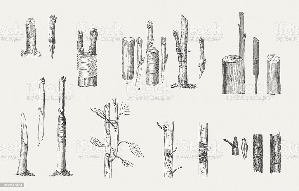 Graftings, wood engraving, wood engravings, published in 1882 vector art illustration